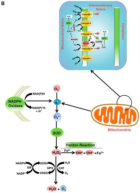 IJMS   Free Full-Text   The Role of Reactive Oxygen