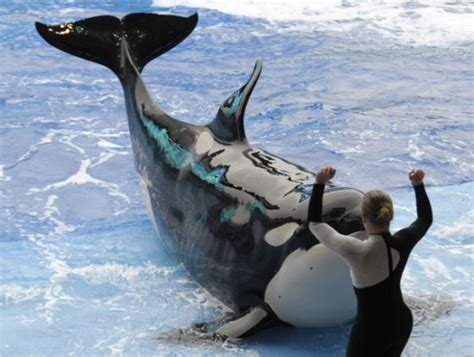 A trainer at SeaWorld in Orlando, Florida, performs with a