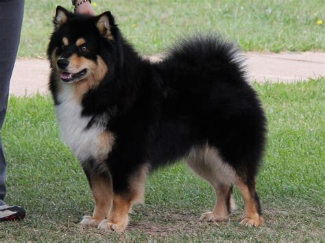 Finnish Lapphund - Puppies, Rescue, Pictures, Information