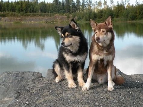 Lapponian Herder Info, Temperament, Puppies, Pictures