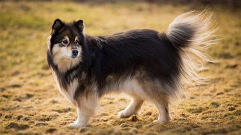 Finnish Lapphund - Information, Characteristics, Facts, Names