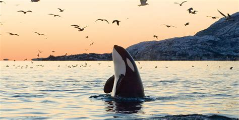 Why Killer Whales in Captivity Should Be Set Free   HubPages